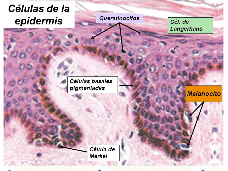 Células de la epidermis Queratinocitos Células basales pigmentadas Cél. de Langerhans Melanocito Célula de Merkel