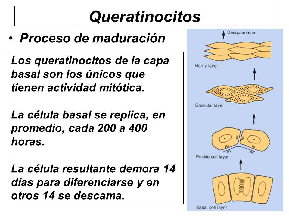 Queratinocitos Proceso de maduración Los queratinocitos de la capa basal son los únicos que tienen actividad mitótica. La célula basal se replica, en