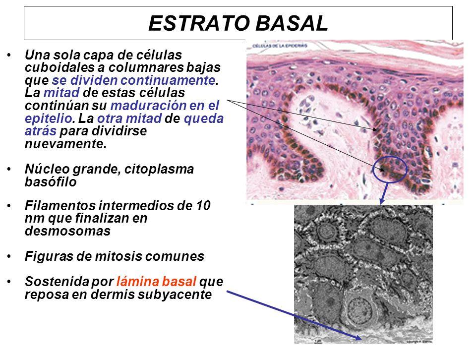Una sola capa de células cuboidales a columnares bajas que se dividen continuamente. La mitad de estas células continúan su maduración en el epitelio.