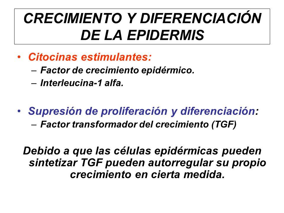 CRECIMIENTO Y DIFERENCIACIÓN DE LA EPIDERMIS Citocinas estimulantes: –Factor de crecimiento epidérmico. –Interleucina-1 alfa. Supresión de proliferaci