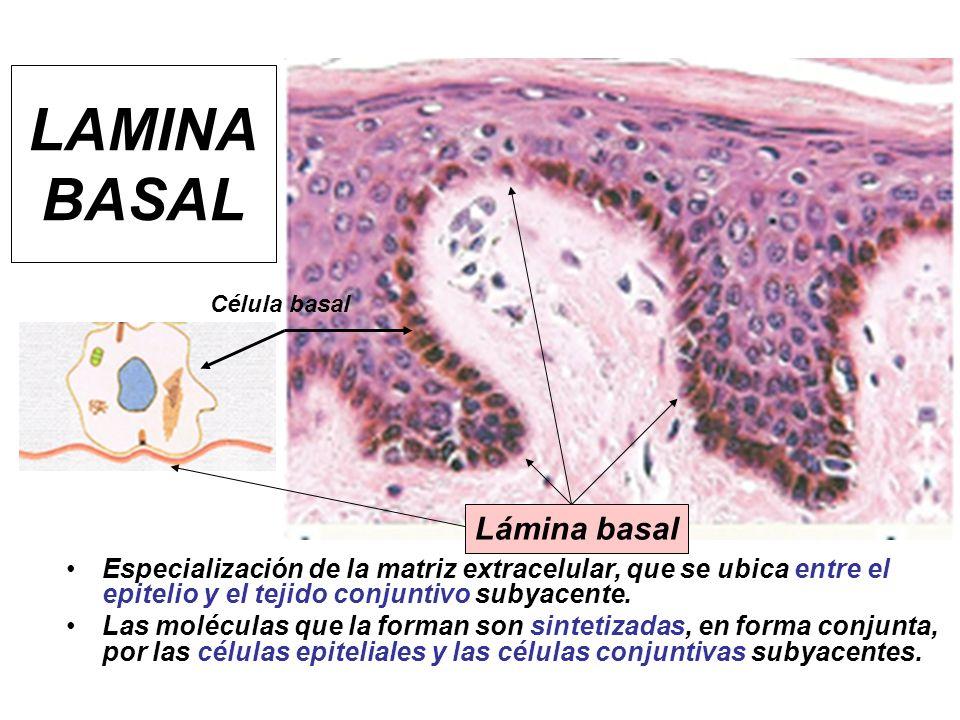 LAMINA BASAL Especialización de la matriz extracelular, que se ubica entre el epitelio y el tejido conjuntivo subyacente. Las moléculas que la forman