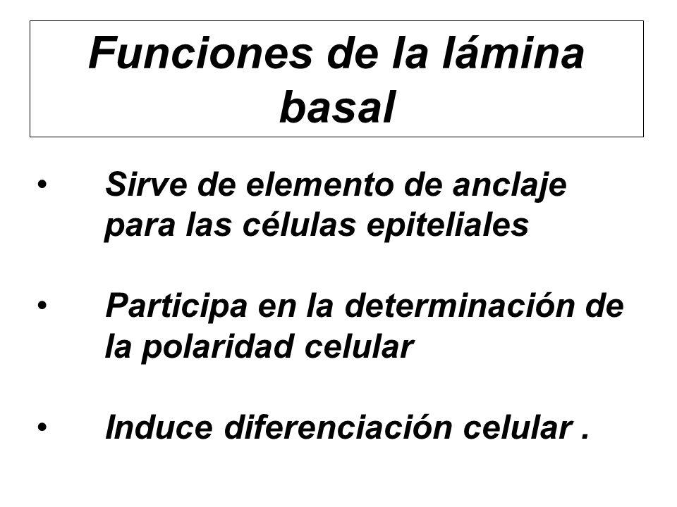 Funciones de la lámina basal Sirve de elemento de anclaje para las células epiteliales Participa en la determinación de la polaridad celular Induce di