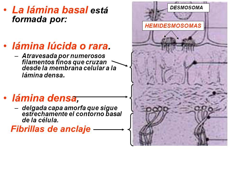 La lámina basal está formada por: lámina lúcida o rara. –Atravesada por numerosos filamentos finos que cruzan desde la membrana celular a la lámina de