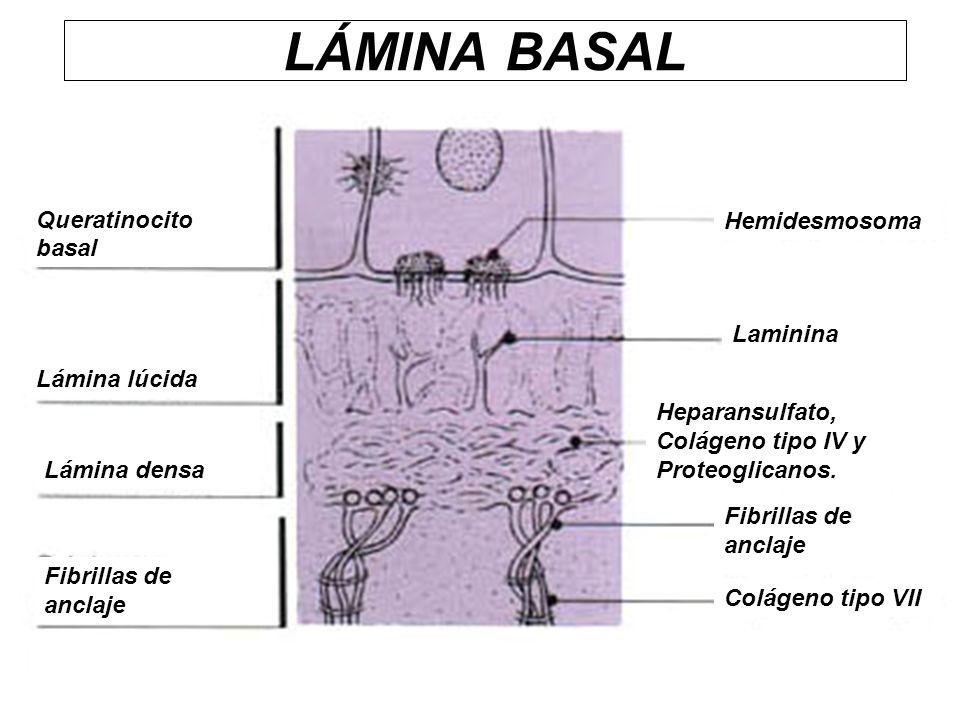 LÁMINA BASAL Heparansulfato, Colágeno tipo IV y Proteoglicanos. Queratinocito basal Lámina lúcida Lámina densa Fibrillas de anclaje Hemidesmosoma Lami