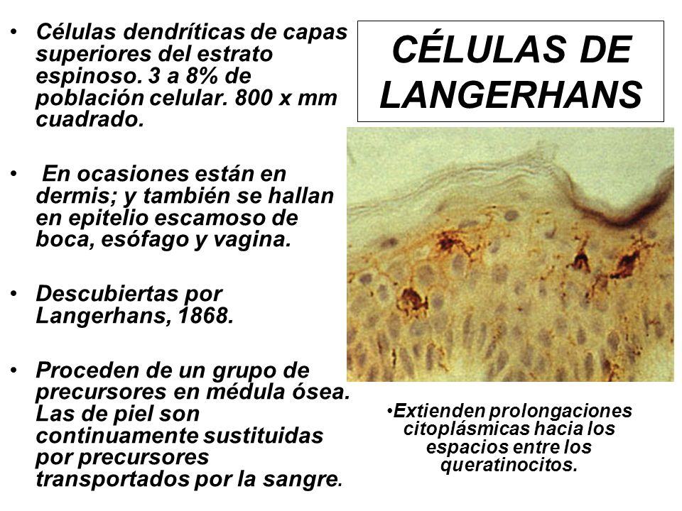 CÉLULAS DE LANGERHANS Células dendríticas de capas superiores del estrato espinoso. 3 a 8% de población celular. 800 x mm cuadrado. En ocasiones están