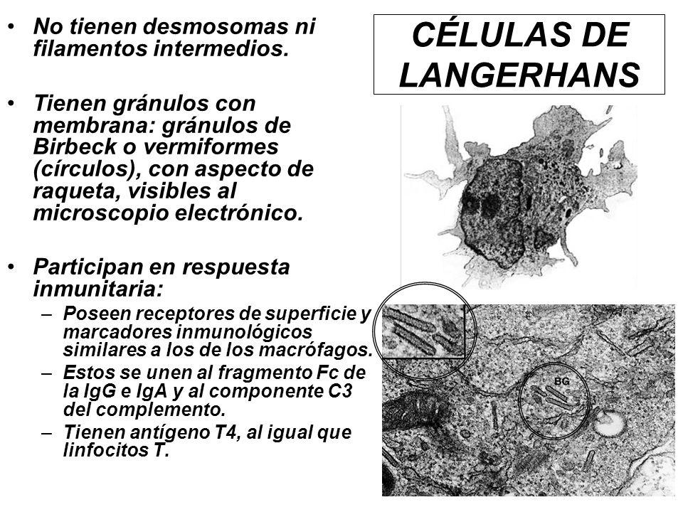No tienen desmosomas ni filamentos intermedios. Tienen gránulos con membrana: gránulos de Birbeck o vermiformes (círculos), con aspecto de raqueta, vi