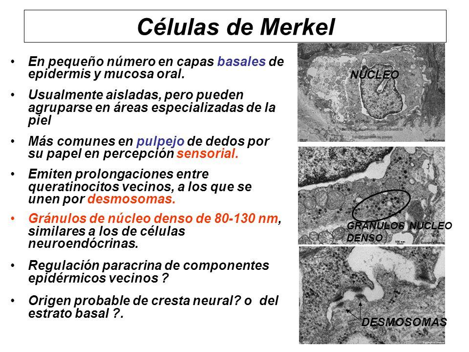 Células de Merkel En pequeño número en capas basales de epidermis y mucosa oral. Usualmente aisladas, pero pueden agruparse en áreas especializadas de
