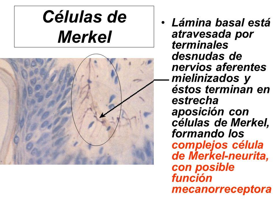 Células de Merkel Lámina basal está atravesada por terminales desnudas de nervios aferentes mielinizados y éstos terminan en estrecha aposición con cé