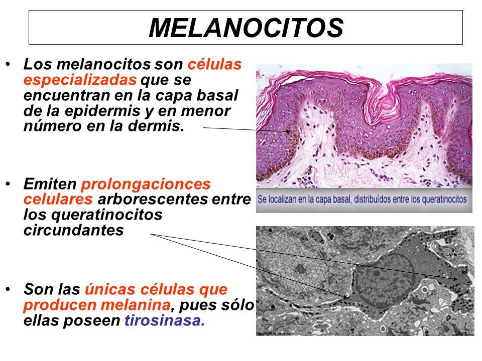 Los melanocitos son células especializadas que se encuentran en la capa basal de la epidermis y en menor número en la dermis. Emiten prolongacionces c