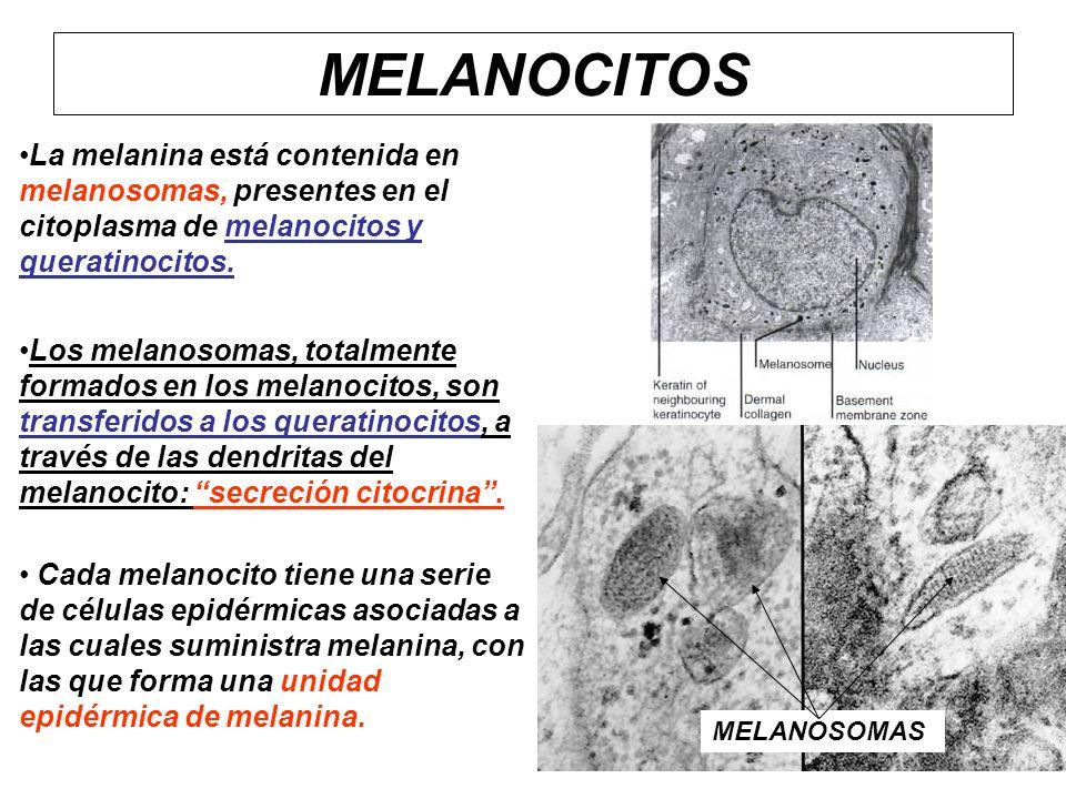 La melanina está contenida en melanosomas, presentes en el citoplasma de melanocitos y queratinocitos. Los melanosomas, totalmente formados en los mel
