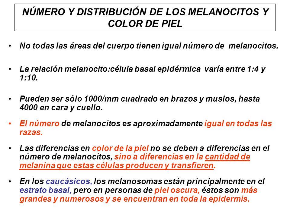 NÚMERO Y DISTRIBUCIÓN DE LOS MELANOCITOS Y COLOR DE PIEL No todas las áreas del cuerpo tienen igual número de melanocitos. La relación melanocito:célu