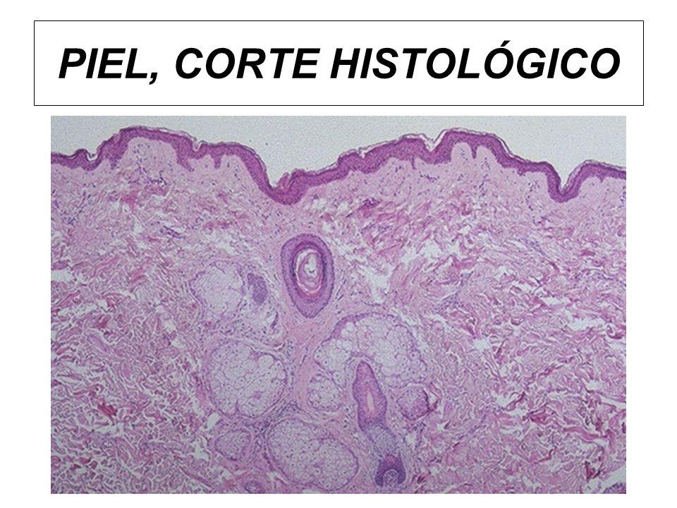 Queratinocitos Proceso de maduración Los queratinocitos de la capa basal son los únicos que tienen actividad mitótica.