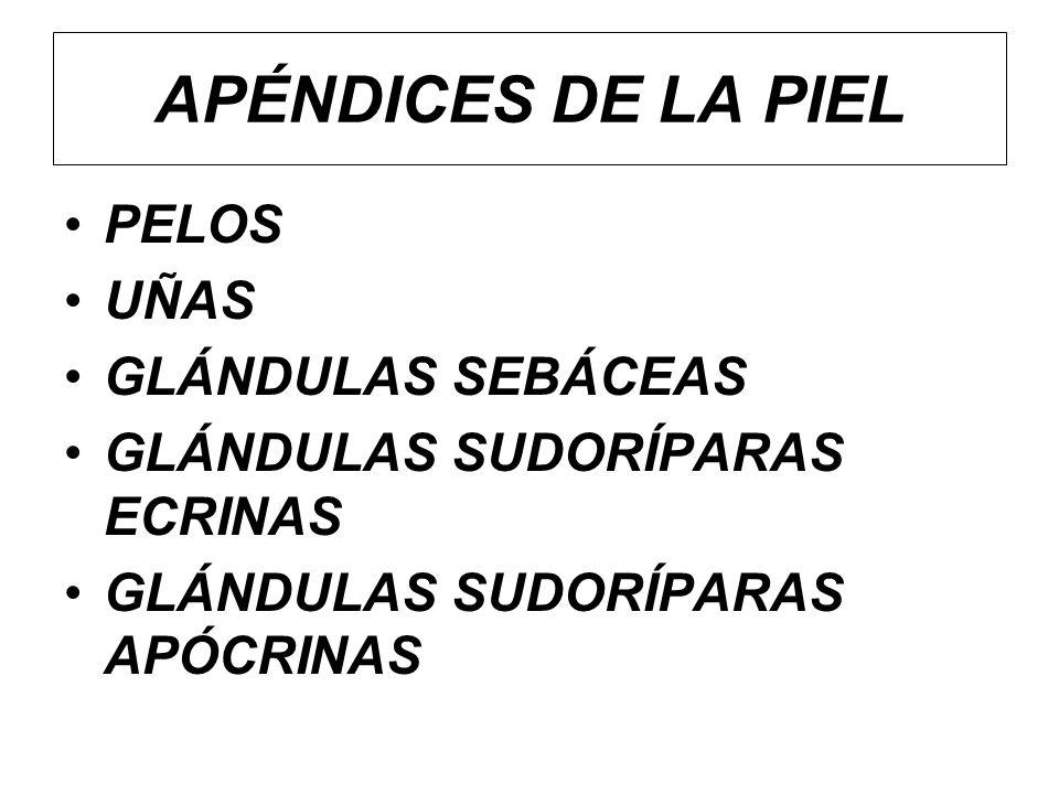 APÉNDICES DE LA PIEL PELOS UÑAS GLÁNDULAS SEBÁCEAS GLÁNDULAS SUDORÍPARAS ECRINAS GLÁNDULAS SUDORÍPARAS APÓCRINAS
