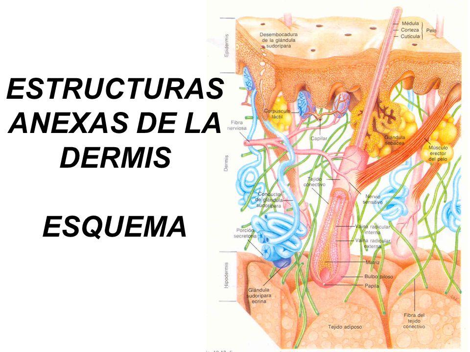 ESTRUCTURAS ANEXAS DE LA DERMIS ESQUEMA