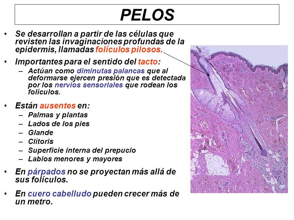 PELOS Se desarrollan a partir de las células que revisten las invaginaciones profundas de la epidermis, llamadas folículos pilosos. Importantes para e