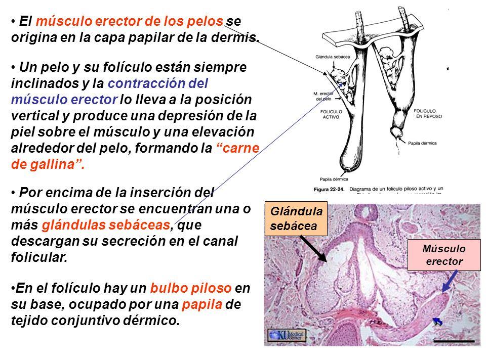 El músculo erector de los pelos se origina en la capa papilar de la dermis. Un pelo y su folículo están siempre inclinados y la contracción del múscul