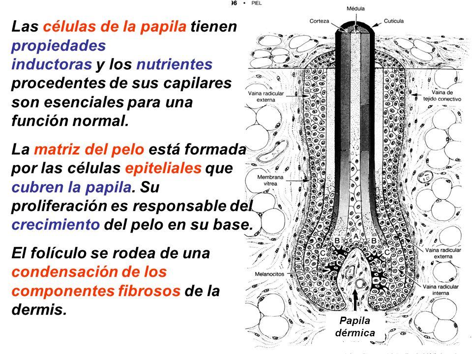 Papila dérmica Las células de la papila tienen propiedades inductoras y los nutrientes procedentes de sus capilares son esenciales para una función no