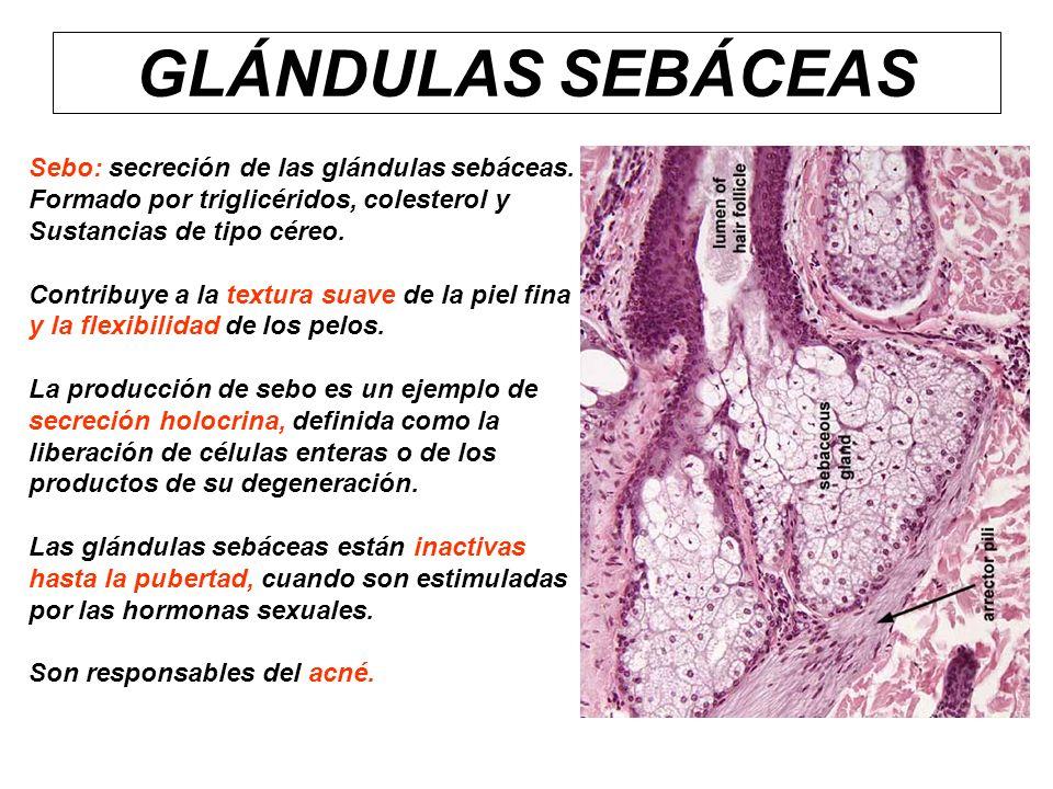 GLÁNDULAS SEBÁCEAS Sebo: secreción de las glándulas sebáceas. Formado por triglicéridos, colesterol y Sustancias de tipo céreo. Contribuye a la textur