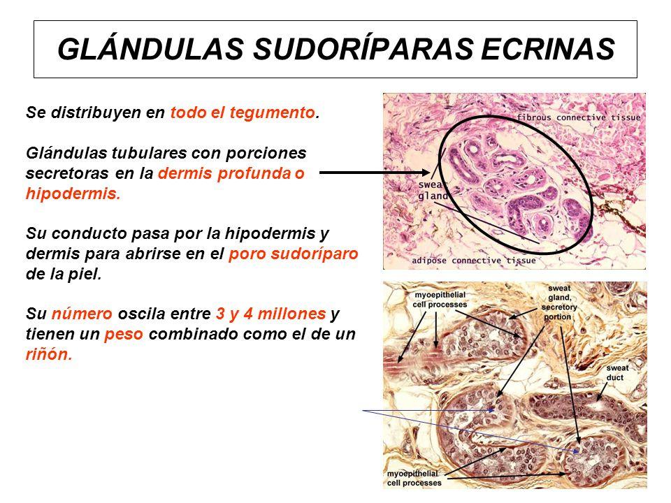 GLÁNDULAS SUDORÍPARAS ECRINAS Se distribuyen en todo el tegumento. Glándulas tubulares con porciones secretoras en la dermis profunda o hipodermis. Su