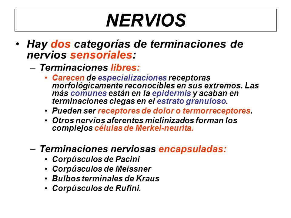 Hay dos categorías de terminaciones de nervios sensoriales: –Terminaciones libres: Carecen de especializaciones receptoras morfológicamente reconocibl