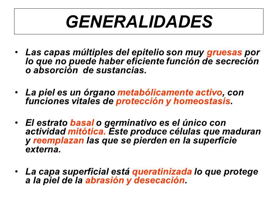 Capas o áreas funcionales principales A.Epidermis: –Capa protectora de mayor importancia.