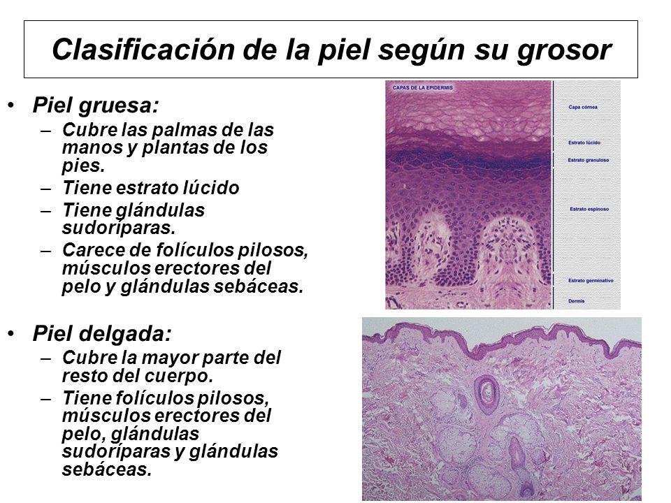 Clasificación de la piel según su grosor Piel gruesa: –Cubre las palmas de las manos y plantas de los pies. –Tiene estrato lúcido –Tiene glándulas sud