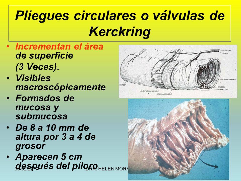 06/02/2014DRA. HELEN MORALES, USAC.10 Pliegues circulares o válvulas de Kerckring Incrementan el área de superficie (3 Veces). Visibles macroscópicame