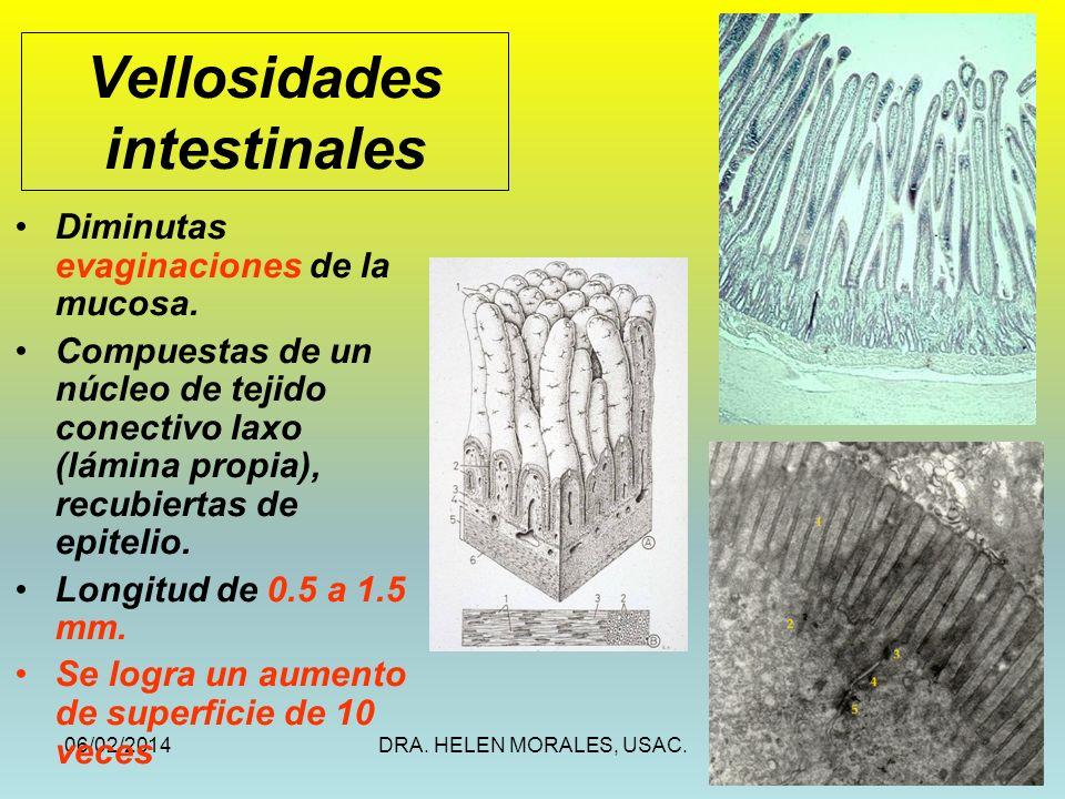 06/02/2014DRA. HELEN MORALES, USAC.11 Vellosidades intestinales Diminutas evaginaciones de la mucosa. Compuestas de un núcleo de tejido conectivo laxo