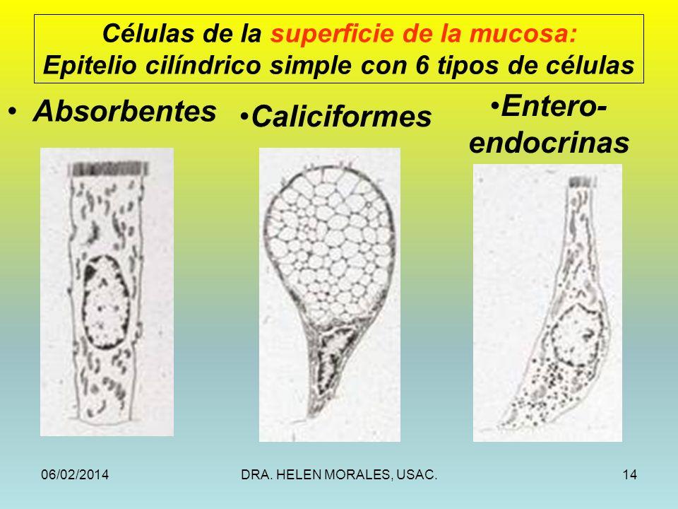 06/02/2014DRA. HELEN MORALES, USAC.14 Células de la superficie de la mucosa: Epitelio cilíndrico simple con 6 tipos de células Absorbentes Caliciforme