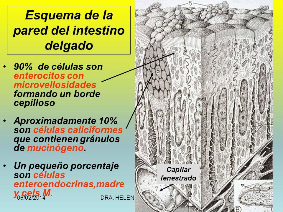 06/02/2014DRA. HELEN MORALES, USAC.16 90% de células son enterocitos con microvellosidades formando un borde cepilloso Aproximadamente 10% son células