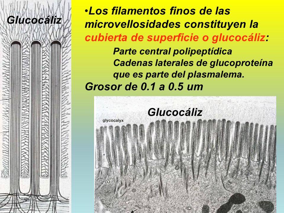 06/02/2014DRA. HELEN MORALES, USAC.19 Los filamentos finos de las microvellosidades constituyen la cubierta de superficie o glucocáliz: Parte central