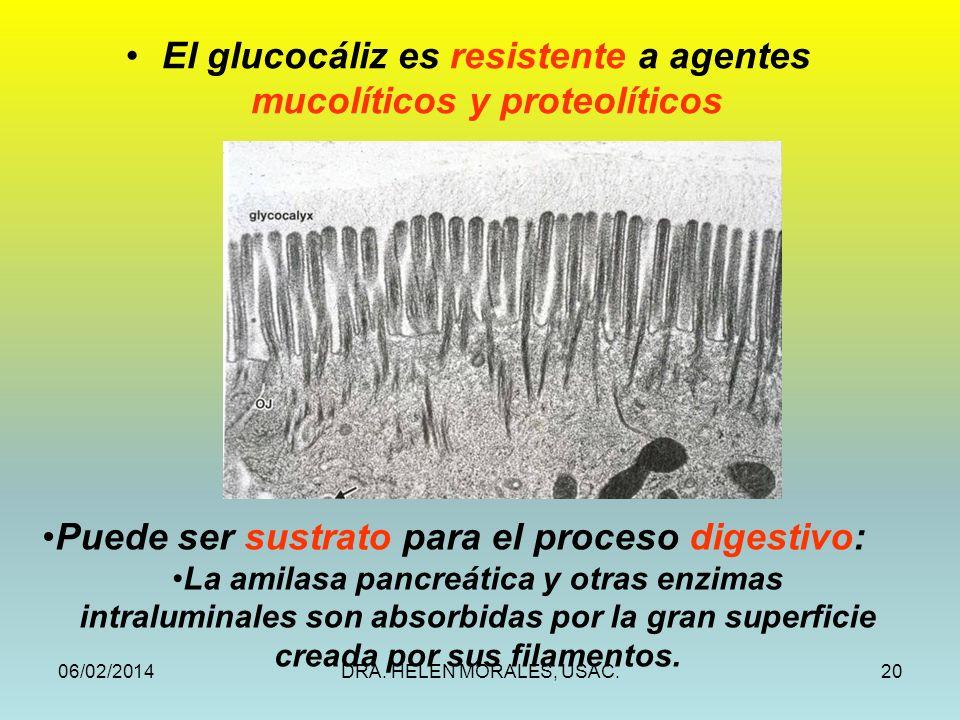 06/02/2014DRA. HELEN MORALES, USAC.20 Puede ser sustrato para el proceso digestivo: La amilasa pancreática y otras enzimas intraluminales son absorbid
