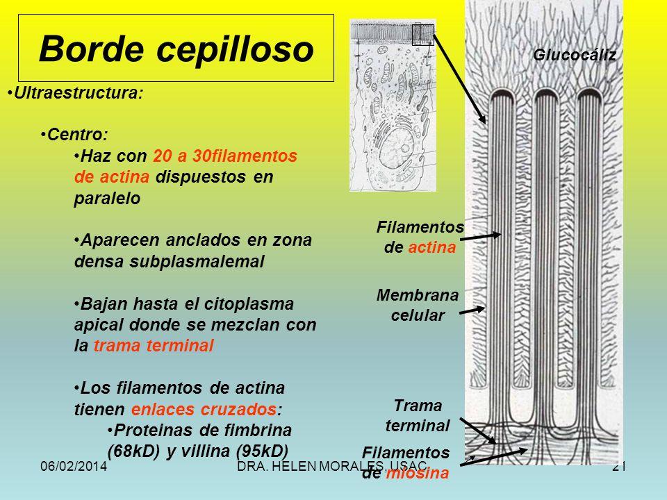 06/02/2014DRA. HELEN MORALES, USAC.21 Borde cepilloso Filamentos de actina Membrana celular Trama terminal Filamentos de miosina Glucocáliz Ultraestru