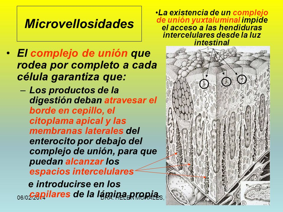 06/02/2014DRA. HELEN MORALES, USAC.23 El complejo de unión que rodea por completo a cada célula garantiza que: –Los productos de la digestión deban at