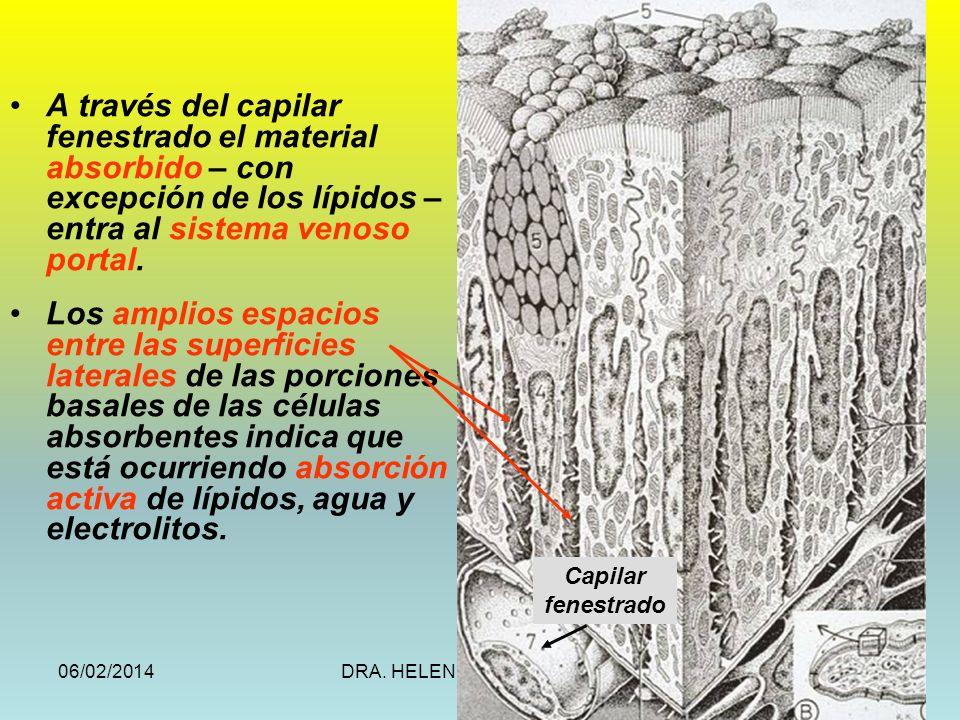 06/02/2014DRA. HELEN MORALES, USAC.24 A través del capilar fenestrado el material absorbido – con excepción de los lípidos – entra al sistema venoso p