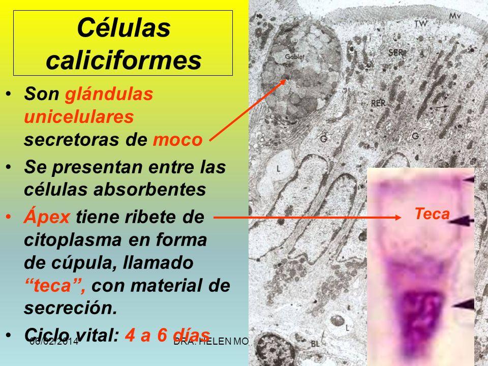 06/02/2014DRA. HELEN MORALES, USAC.26 Células caliciformes Son glándulas unicelulares secretoras de moco Se presentan entre las células absorbentes Áp