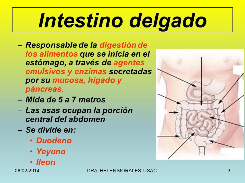 06/02/2014DRA. HELEN MORALES, USAC.3 Intestino delgado –Responsable de la digestión de los alimentos que se inicia en el estómago, a través de agentes
