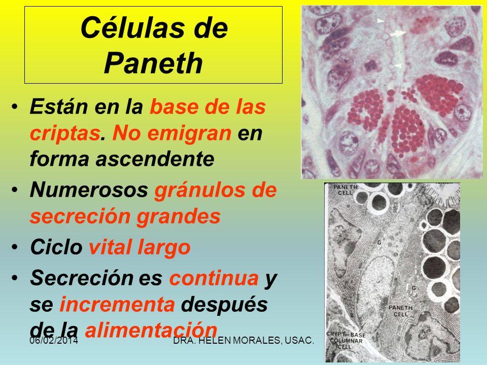 06/02/2014DRA. HELEN MORALES, USAC.30 Células de Paneth Están en la base de las criptas. No emigran en forma ascendente Numerosos gránulos de secreció