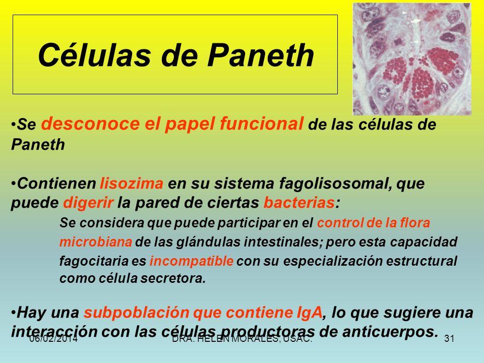 06/02/2014DRA. HELEN MORALES, USAC.31 Células de Paneth Se desconoce el papel funcional de las células de Paneth Contienen lisozima en su sistema fago