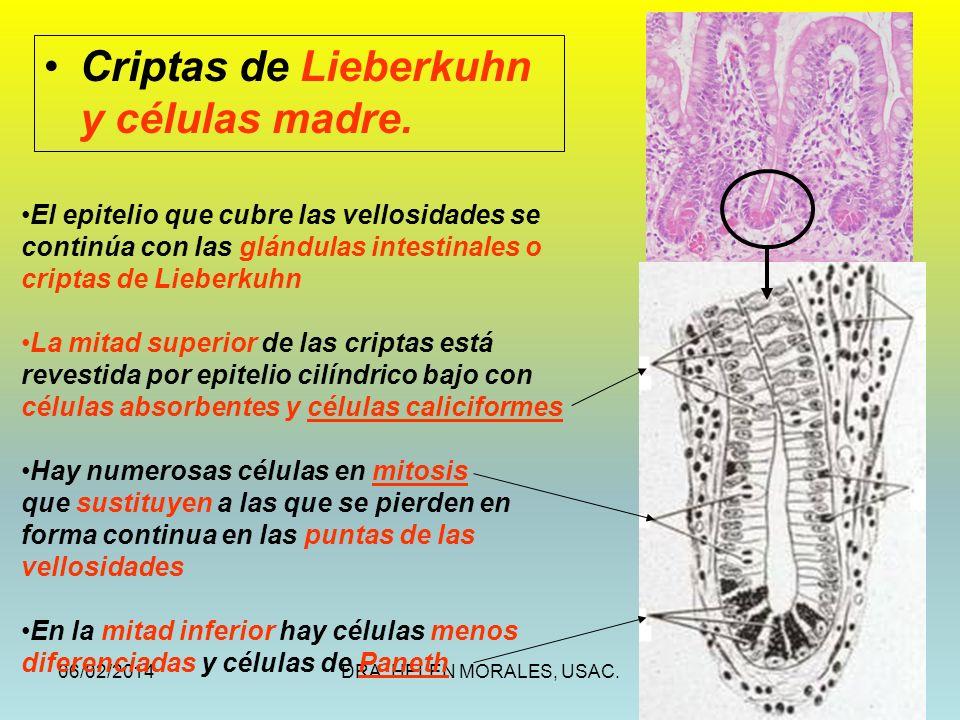 06/02/2014DRA. HELEN MORALES, USAC.38 Criptas de Lieberkuhn y células madre. El epitelio que cubre las vellosidades se continúa con las glándulas inte
