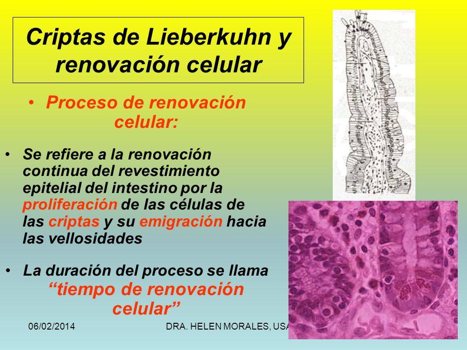 06/02/2014DRA. HELEN MORALES, USAC.39 Proceso de renovación celular: Se refiere a la renovación continua del revestimiento epitelial del intestino por