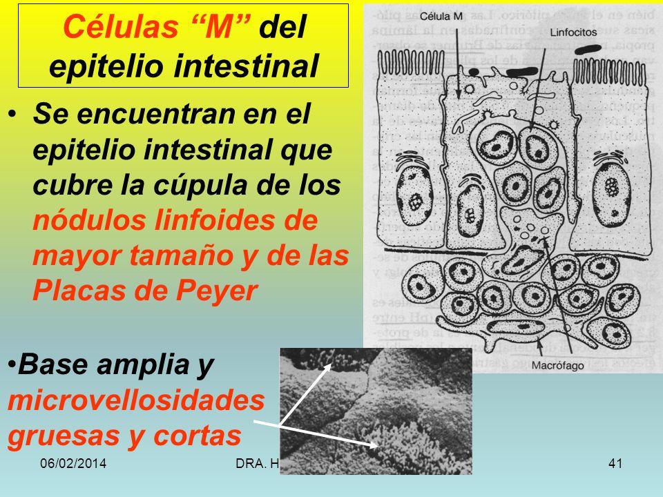 06/02/2014DRA. HELEN MORALES, USAC.41 Se encuentran en el epitelio intestinal que cubre la cúpula de los nódulos linfoides de mayor tamaño y de las Pl