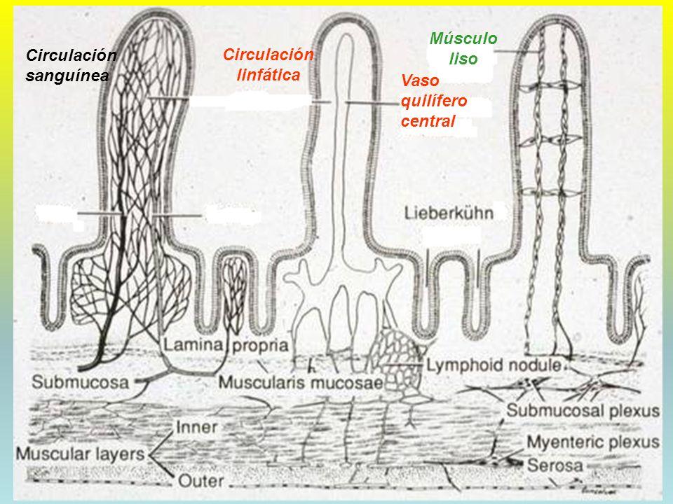 06/02/2014DRA. HELEN MORALES, USAC.45 Circulación sanguínea Circulación linfática Músculo liso Vaso quilífero central