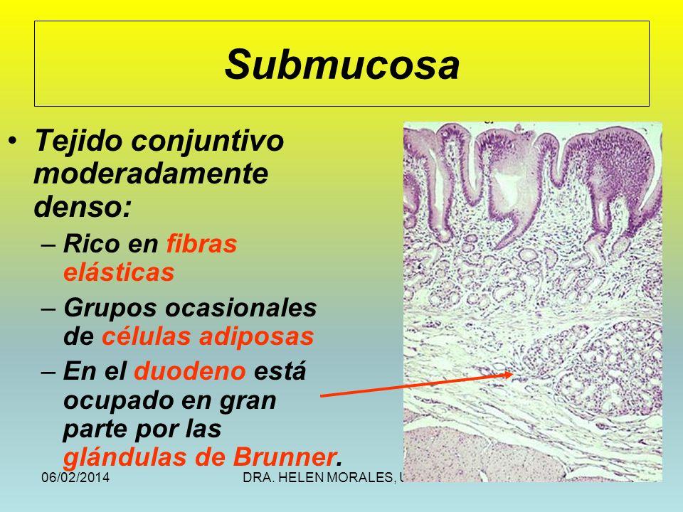 06/02/2014DRA. HELEN MORALES, USAC.48 Submucosa Tejido conjuntivo moderadamente denso: –Rico en fibras elásticas –Grupos ocasionales de células adipos