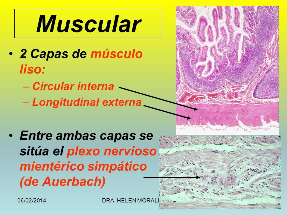 06/02/2014DRA. HELEN MORALES, USAC.50 Muscular 2 Capas de músculo liso: –Circular interna –Longitudinal externa Entre ambas capas se sitúa el plexo ne