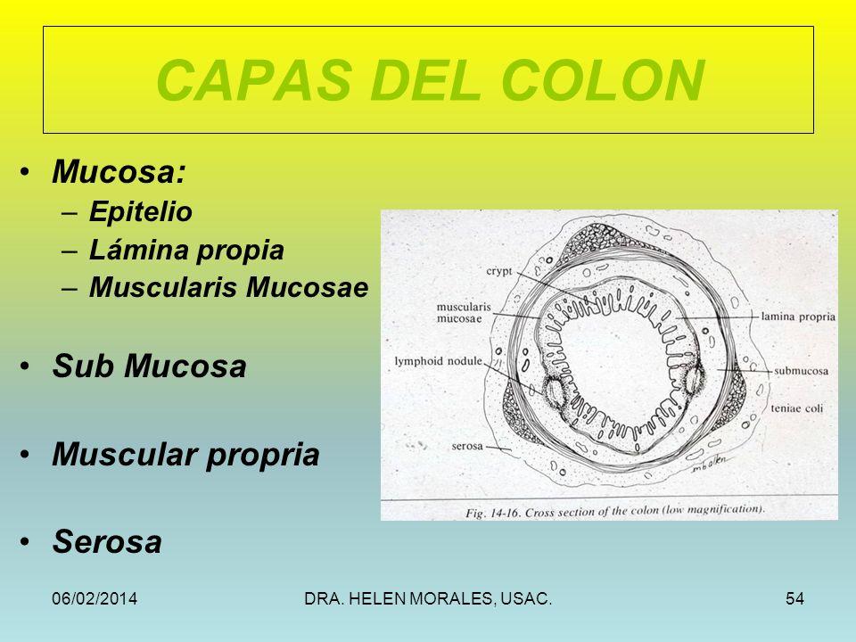 06/02/2014DRA. HELEN MORALES, USAC.54 CAPAS DEL COLON Mucosa: –Epitelio –Lámina propia –Muscularis Mucosae Sub Mucosa Muscular propria Serosa