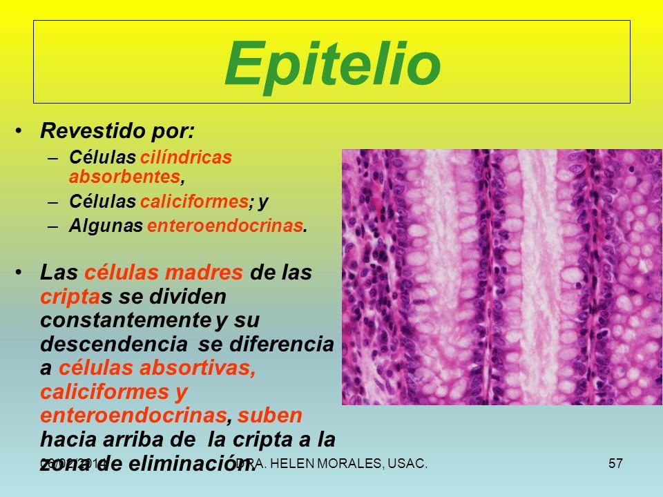 06/02/2014DRA. HELEN MORALES, USAC.57 Epitelio Revestido por: –Células cilíndricas absorbentes, –Células caliciformes; y –Algunas enteroendocrinas. La