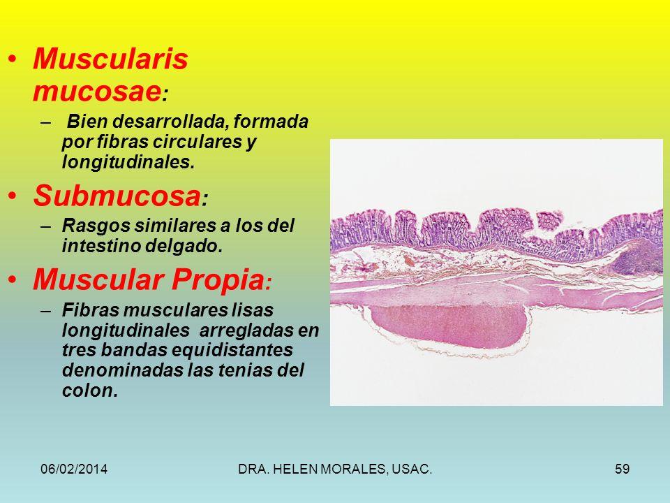 06/02/2014DRA. HELEN MORALES, USAC.59 Muscularis mucosae : – Bien desarrollada, formada por fibras circulares y longitudinales. Submucosa : –Rasgos si