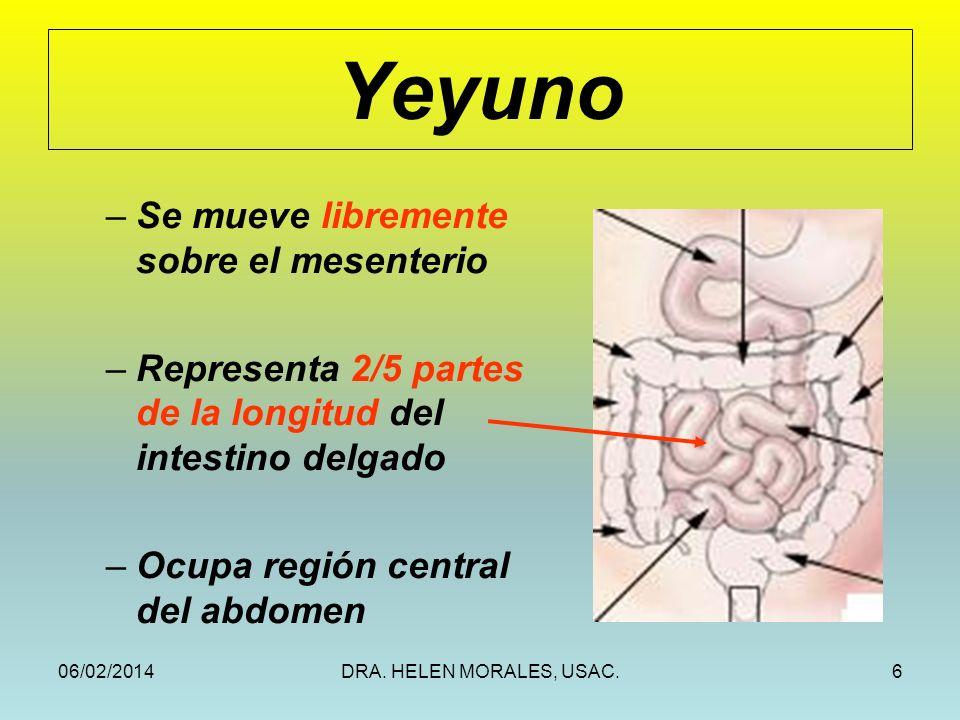 06/02/2014DRA. HELEN MORALES, USAC.6 Yeyuno –Se mueve libremente sobre el mesenterio –Representa 2/5 partes de la longitud del intestino delgado –Ocup