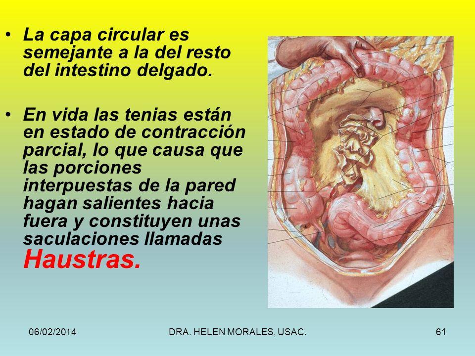 06/02/2014DRA. HELEN MORALES, USAC.61 La capa circular es semejante a la del resto del intestino delgado. En vida las tenias están en estado de contra